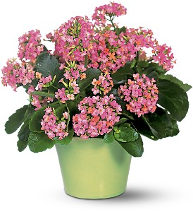 pink-kalanchoe-plant