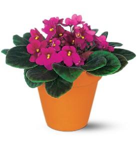 vivacious-violets-plant