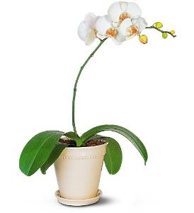 white-phalaenopsis-orchid-plants